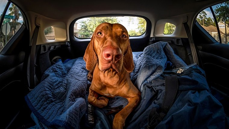 A serious or sad looking Vizsla lays down in the back of a vehicle.