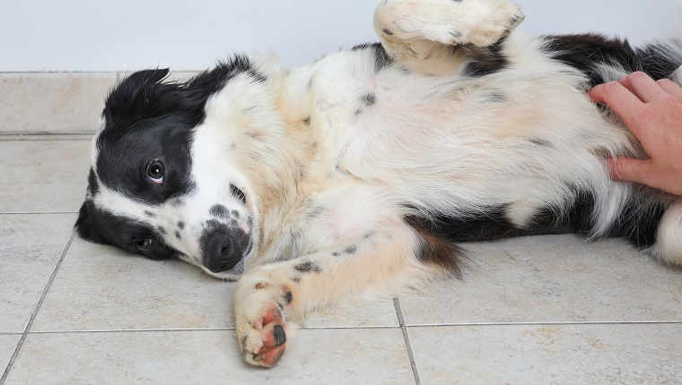 Border Collie dog in an animal shelter waiting to be adopted