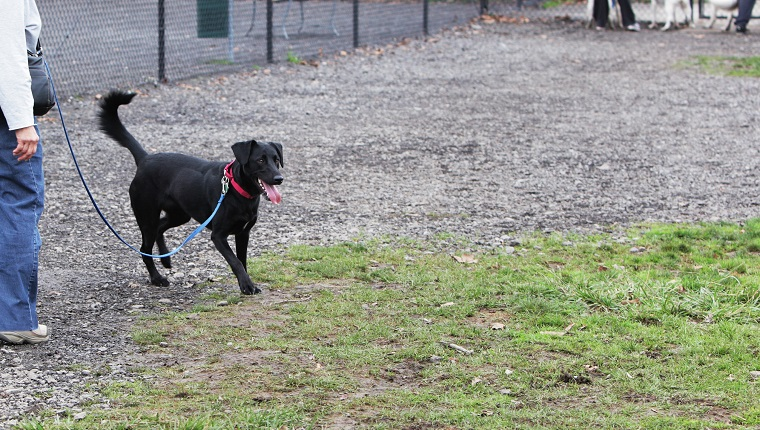 A woman is walking with her excited predominantly black labrador retriever mixed breed dog on a leash in a dog play park. The dog is panting and wagging her tail eagerly - waiting to be let loose in the protected park enclosure to safely run around and play with her canine friends.