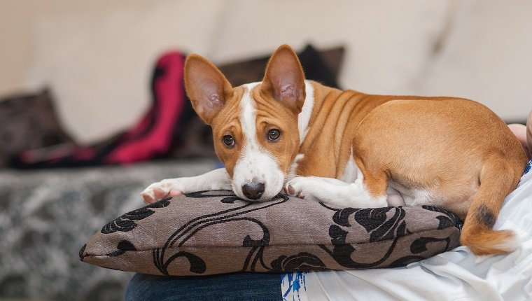 Tired Basenji puppy (3.5 month old) having rest on a pillow