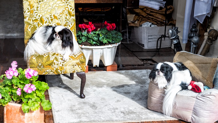 Japanese Chin small dog breed pedigree canines resting sitting indoors on chairs cute adorable interior in home