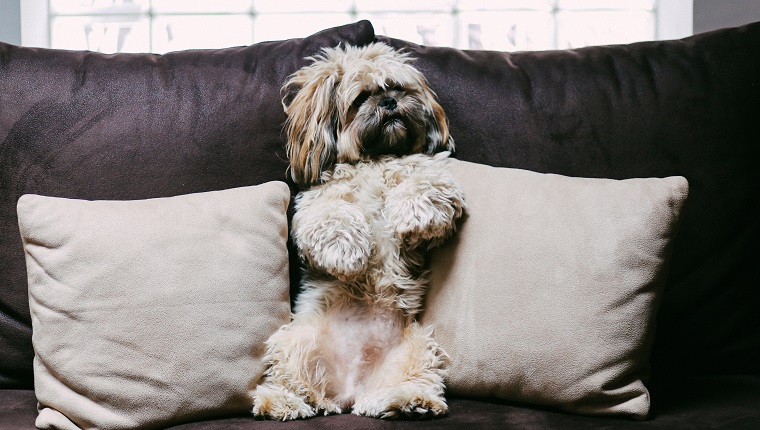 Cute, funny looking Lhasa apso puppy relaxing on the sofa at home.