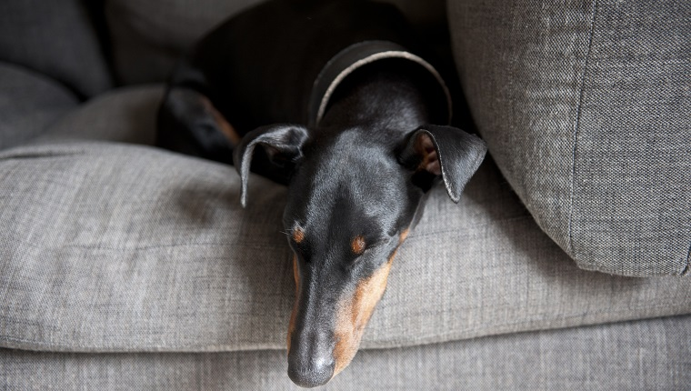 Manchester Terrier fast asleep on a grey sofa.