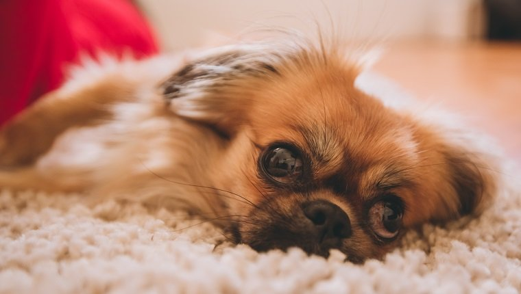 Close-up of cute purebred Pekingese dog