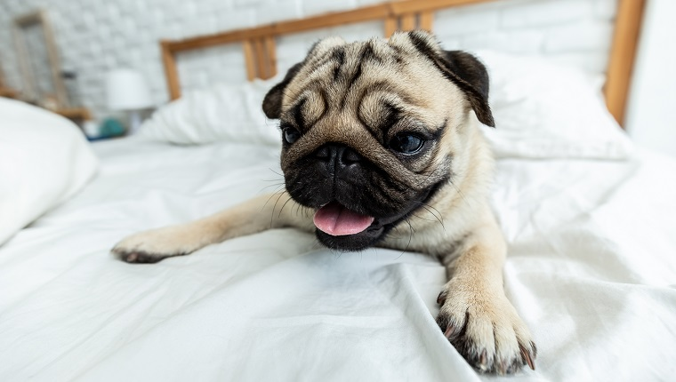 Cute dog pug breed smile and lying on bed and looking at camera feeling so happiness and fun