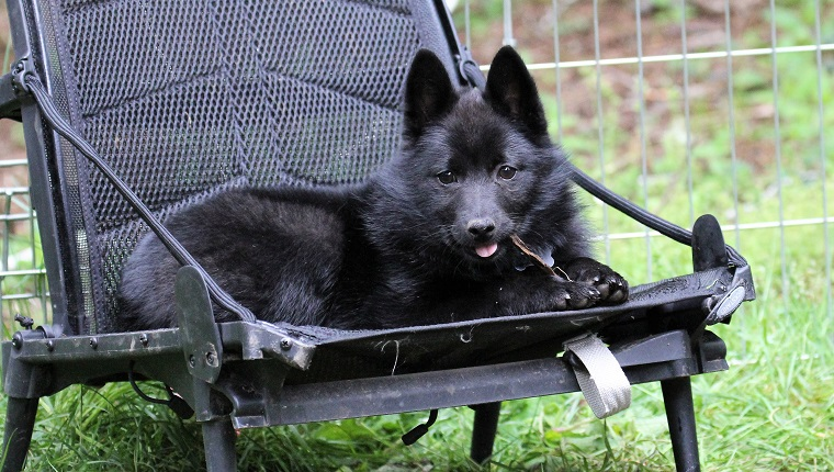 Little Schipperke puppy sits on a chair chewing her stick