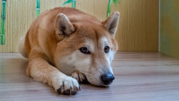 A beautiful ginger, purebred Shiba Inu dog lies on a wooden floor. View from above