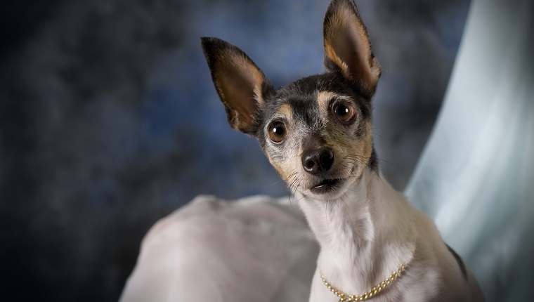 A horizontal low-key studio portrait of a Toy Fox Terrier against blue.