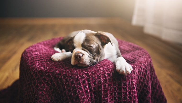 Boston Terrier puppy lying on purple blanket, eyes closed, sleeping