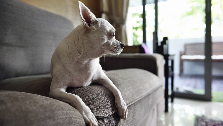 White chihuahua on a sofa