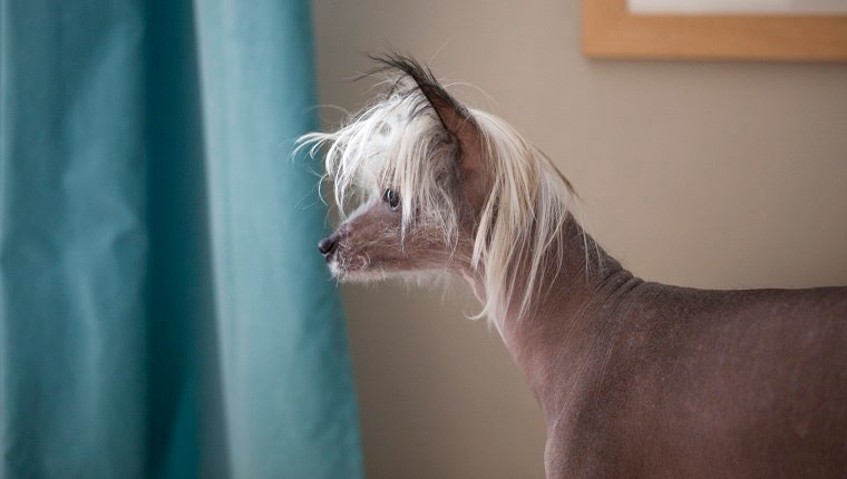 Iggy - Chinese Crested dog