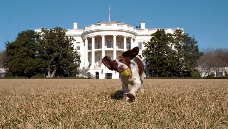 WASHINGTON, DC - JANUARY 23: In this picture is Spot. He's the offspring of Millie, who was former US President George Bush's family dog.