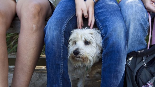 A samll dog looking nervous hides behind its owner for comfort as it looks out.