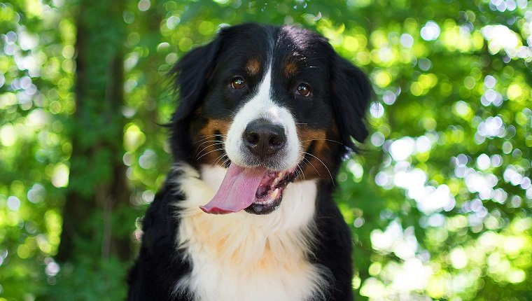 Luna has one of the best Bernese Mountain Dog Names