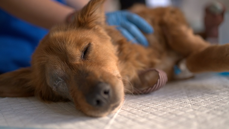 Young Stid puppy saved from the street and brought to the veterinarians to be examined and saved, then rendered to a loving animal.