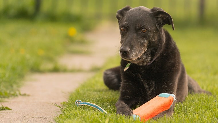 Older Black Labrador playing with throw toy in summer
