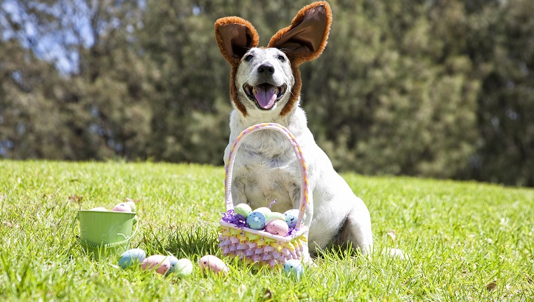 A cute little dog dressed as the Easter Bunny with Easter Eggs at the park.