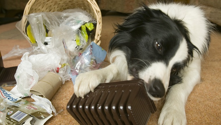A Border collie chews on trash after tipping over a wastebasket.