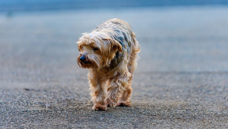 Yorkshire Terrier mix shelter dog wandering the streets