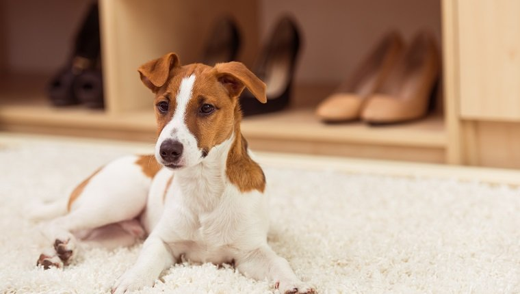 Cute little dog is looking away while lying on a beige carpet in a dressing room