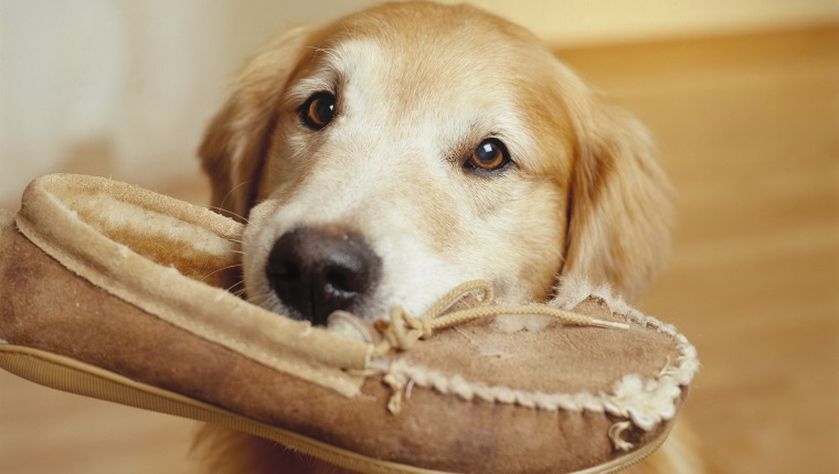 Retriever Holding Slipper