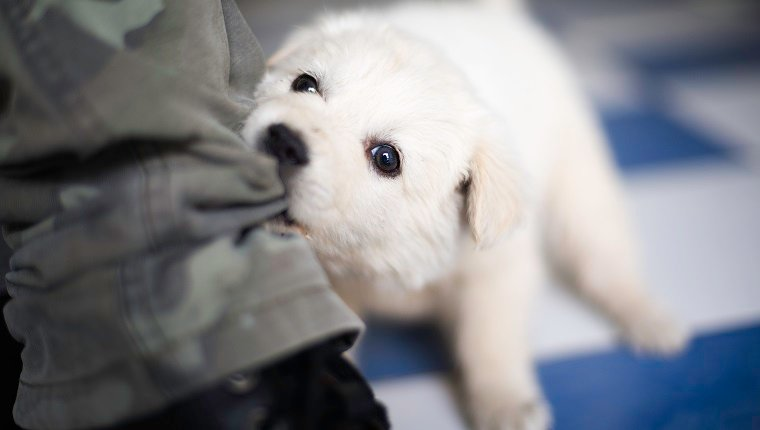 White puppy biting a pair of pants while playing
