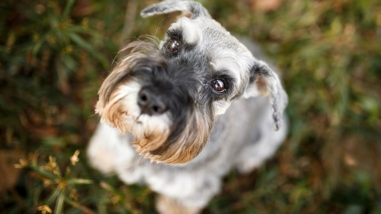 30 Best Dog Names For Sweet Schnauzers Dogtime