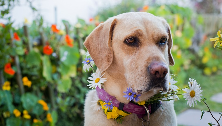 Yellow Golden Labrador decorated with daisies in a garden