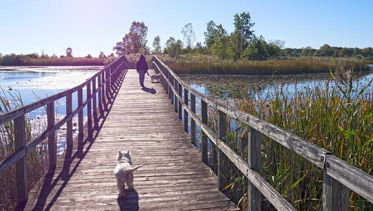 The Crosswinds Marsh in New Boston Michigan. Early October afternoon with the blue sky and cool breeze. Walking with two West Highland terrier dogs on one of the wooden bridges.