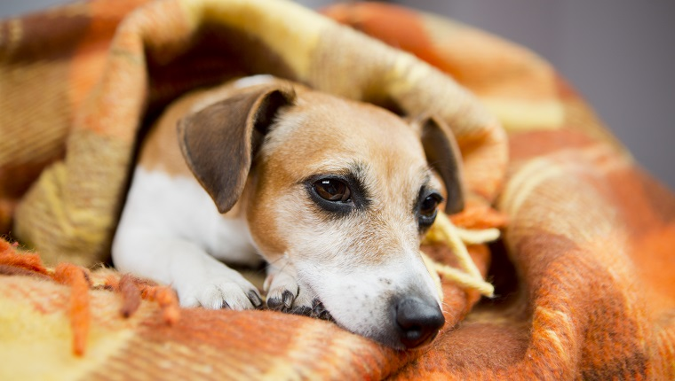 Adorable Jack russell terrier lies nestled warm soft blanket.