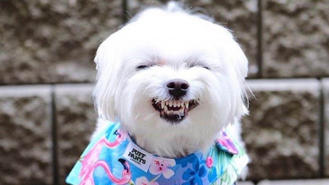 Best Dog Names: 30 Mighty Maltese Dog Names [PICTURES] - Dogtime