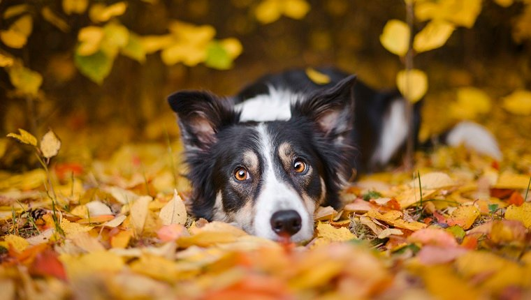 Border Collie lying down on autumn leaves.