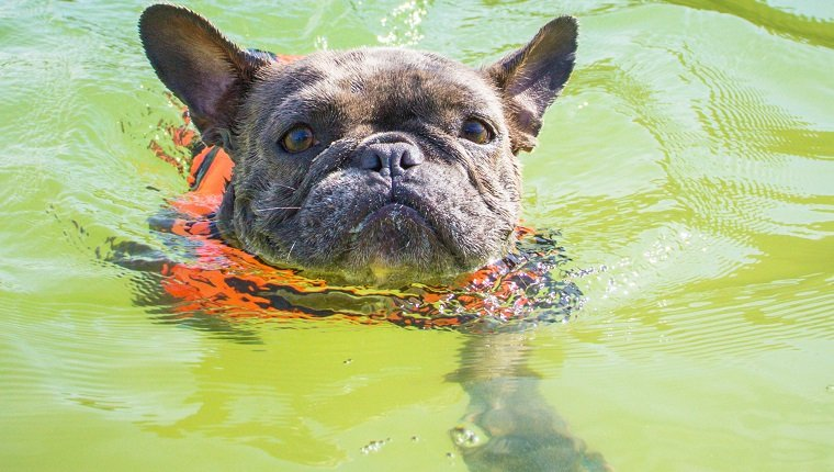 French bulldog wearing life jacket swimming in ocean