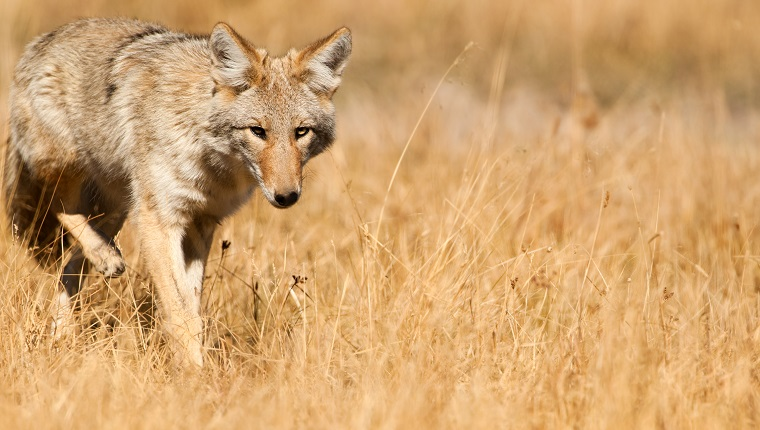 Coyote - Yellowstone NP