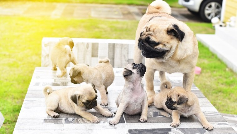 Cute puppies brown Pug playing with their mother on Mother's Day