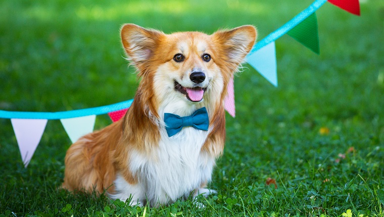 """birthday off beautiful corgi fluffy on green lawn and colorful party flags on the background""""n"""