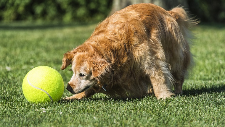 A senior purebred Golden Retriever dog playing with a large yellow tennis ball in the backyard. She is an 11 year old purebred Golden Retriever with gray hair around her face and she stills shows you are never too old to play fetch.