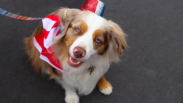 An Australian shepherd dog wears a red, white and blue costume for a Fourth of July parade.