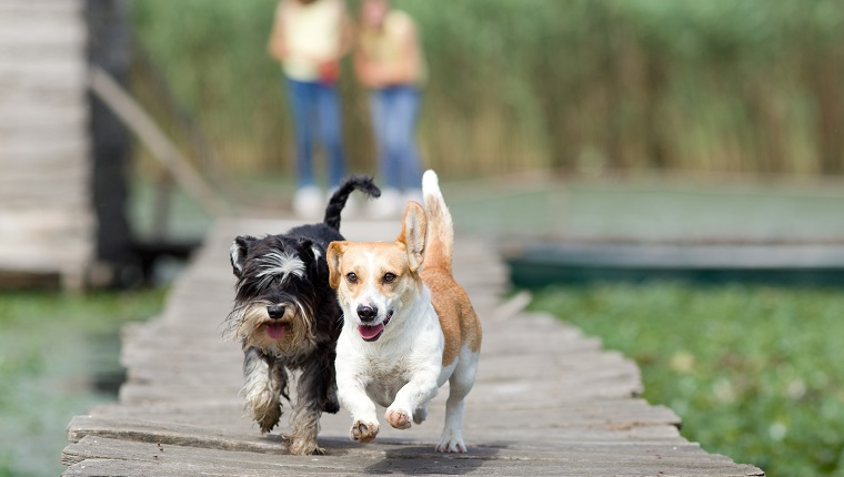 Two adorable dogs running on wooden dock