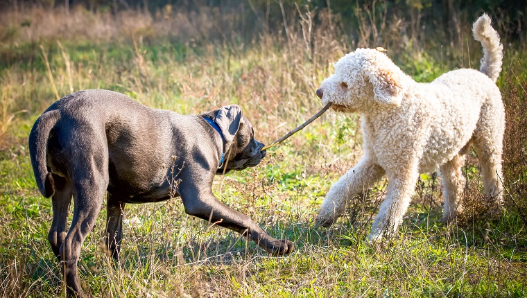 Two dogs are playing with a stick