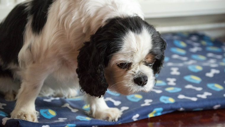 An old black and white king charles cavalier looking sad and low sitting on a blue dogs bed