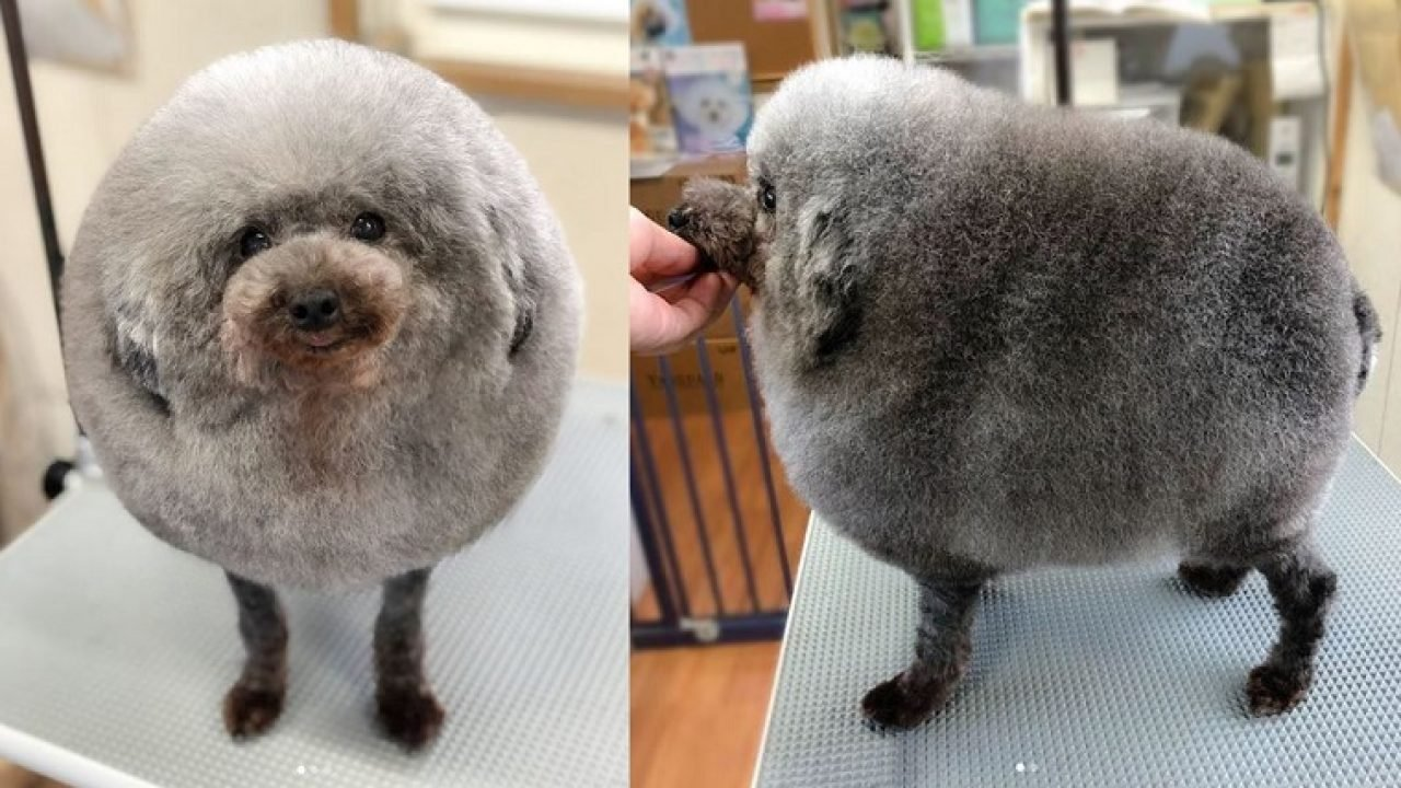 is that a sheep or a dog? poodle's new haircut goes viral