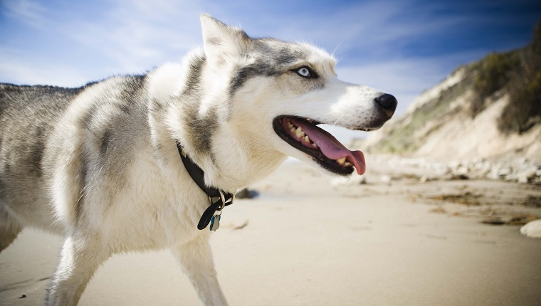 Siberian Husky walking outdoors, Santa Barbara, California