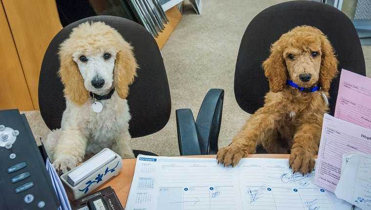 Working like a dog on take your dog to work day - Two poodle puppies sitting at a desk