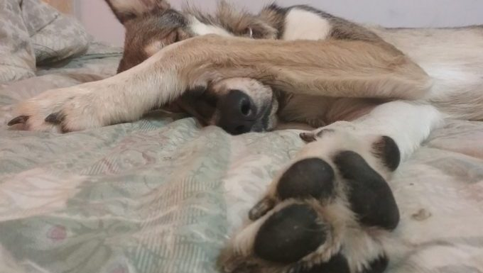 dog on bed stretching out paw