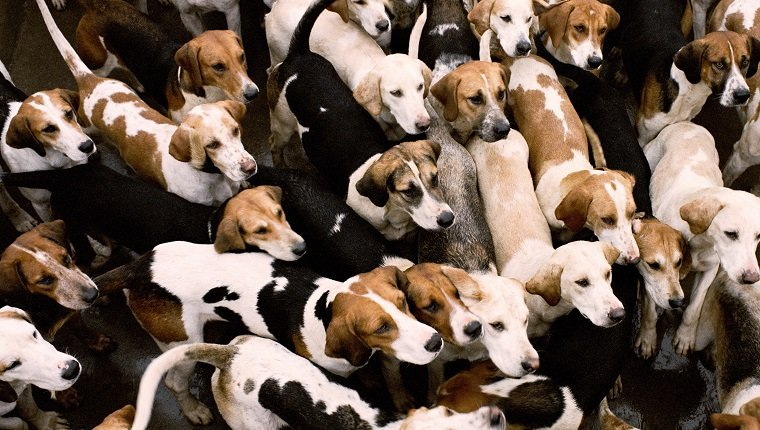 Pack of foxhounds, elevated view