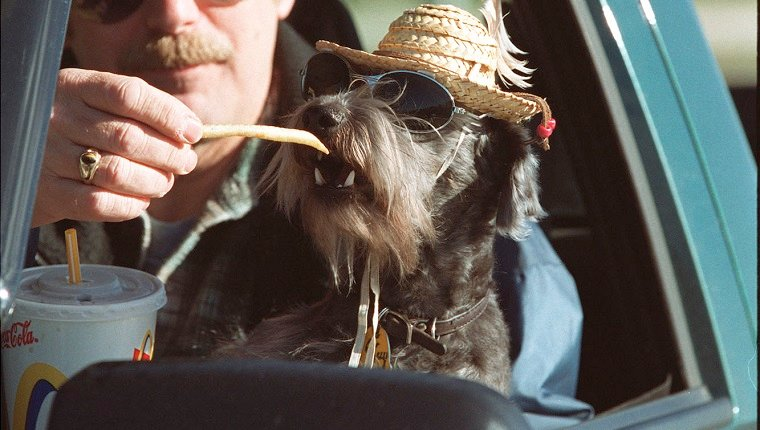 """Two year old """"snoodle,"""" (snauser poodle mix) Guy, 2, wearing sunglasses and a straw hat, snacks on french fries from the hand of his owner Karl Wiklund. They had just come through the drive-thru at McDonalds and were chowing down together. The family who are from Bancroft, were in Hamilton visiting Karl's mom. I asked Karl why the dog was in the glasses and hat, and he replied, """"for the UV rays."""" But the truth is closer to the fact that Karl and his wife Carmen own a tent and trailer camp in Bancroft, so they began dressing Guy to cater to the kids there, and it caught on.(this was taken about noon)"""