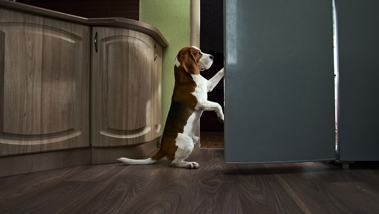 The dog in kitchen searches for something tasty.