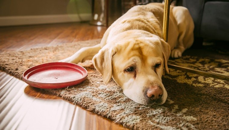 Sad dog laying with plastic disc in living room