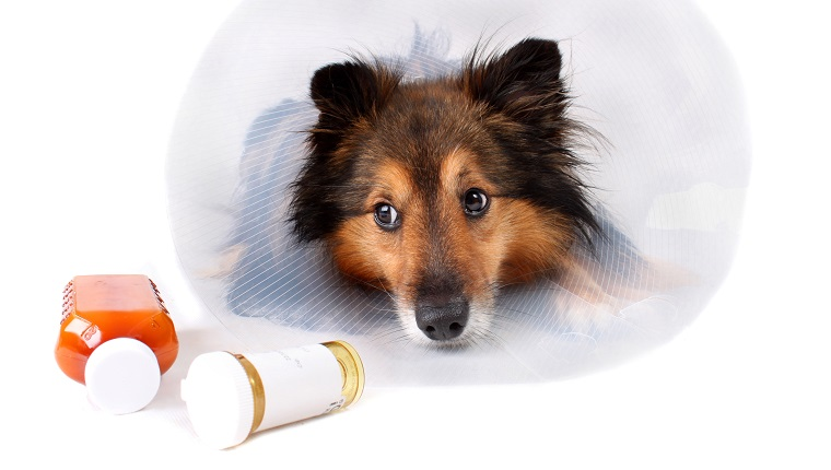 Sick Sheltie or Shetland sheepdog with dog cone collar and aspirin medicine bottles in the foreground (NOT ISOLATED)